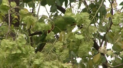 Red-winged Parrot feed on leaf 2 Stock Footage