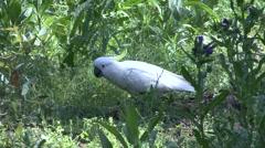 Sulphur-crested Cockatoo feeding on ground 1 Stock Footage
