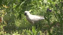 Sulphur-crested Cockatoo feeding on ground 2 Stock Footage