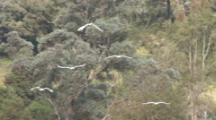 Sulphur-crested Cockatoo flock flying and land on ground Stock Footage