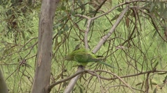 Superb Parrot female feed in tree Stock Footage
