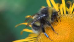 Close Up Bumblebee Macro View Busy Insect Collecting Pollen Nature Wildlife Stock Footage