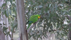 Superb Parrot male sit in tree and fly away Stock Footage