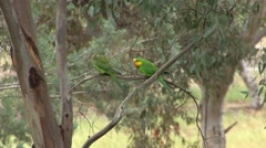 Superb Parrot male and female sit in tree and fly away 2 Stock Footage