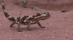 Thorny Devil walk on sand 1 Stock Footage