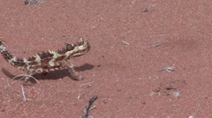 Thorny Devil walk on sand 3 Stock Footage