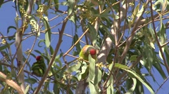 Varied Lorikeet feed in windy tree 2 - stock footage