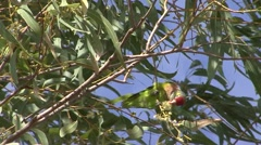 Varied Lorikeet feed in windy tree 3 - stock footage