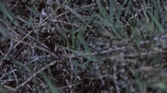 Water Python moving through grass smelling with tongue in the night 1 Stock Footage