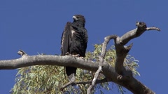 Wedge-tailed Eagle looking around in tree 1 Stock Footage