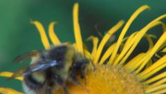 Wildlife Nature Insect Close Up Macro View Busy Bee Collecting Flowers Pollen Stock Footage