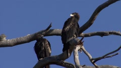 Wedge-tailed Eagle looking around in tree 3 Stock Footage