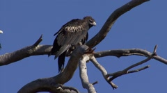 Wedge-tailed Eagle looking around in tree 5 Stock Footage
