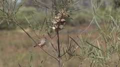 Zebra Finch flock in tree 1 Stock Footage