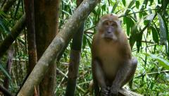 4k monkey jungle looking at camera wildlife free animals primate ape Stock Footage