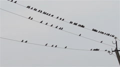 Starlings on the electrical lines Stock Footage