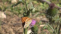 Close Up Insect Life Macro Colorful Butterfly Thistle Flower Wild Life Stock Footage