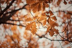 Autumn oak-tree leaves Kuvituskuvat