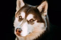 Close Up Funny Young White And Brown Husky Dog - stock photo