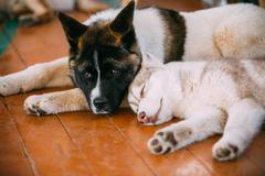Young Happy Husky Puppy Eskimo Dog And American Akita - stock photo