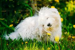 White Bichon Bolognese Dog Sitting In Green Grass Stock Photos