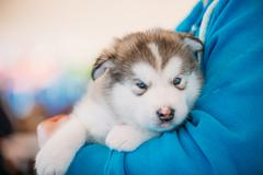 Alaskan Malamute puppy Dog sits in hands of owner Stock Photos