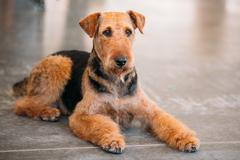 Brown Airedale Terrier Dog Close Up Stock Photos