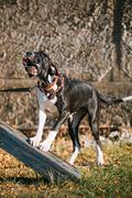 Great Dane Big Dog. Deutsche Dogge, German mastiff Stock Photos
