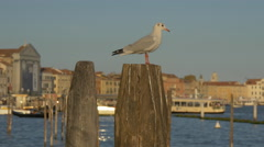 Seagull relaxing on a wooden mooring post in Venice Stock Footage