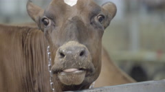 Close up of a cow eating Stock Footage