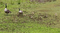 Canada Geese Parents with Goslings - stock footage