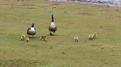Canada Geese Parents with Goslings. Running Off. Stock Footage