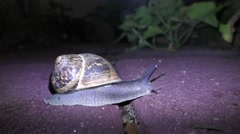 Stock Video Footage of A snail walks at night, thus avoiding predators and heat