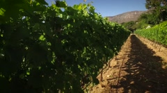 Vineyard pov,Cape winelands Stock Footage