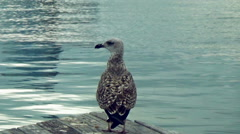 Large seagull standing on the pier 2 Stock Footage