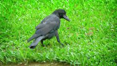Big, Black Raven, Pecking at a Worm in the Grass Stock Footage