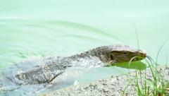 Closeup of an Asian Water Monitor Lizard, Swimming in a Pond Stock Footage