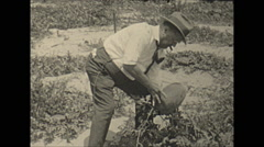 Vintage 16mm film, 1936, Florida, watermelon field, man inspecting Stock Footage