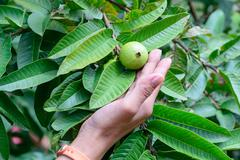 Hand holding Apple Guava or Common Guava, Psidium Guajava, Goiaba or Guayaba. - stock photo