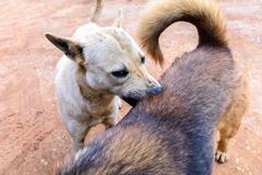 White dog cleaning tick and flea to buddy. - stock photo