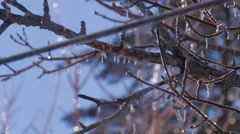 Freezing Rain Ice on Tree branches. - stock footage
