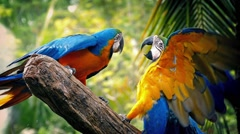 Parrots Fighting With Each Other On Branch - stock footage