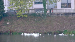 People feeding large flock of swans - Large view Stock Footage