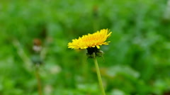 Dandelion in Nature in Slow Motion - stock footage