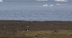 Barnacle Geese Family Near Ocean With Ice Bergs in Background Arctic Ocean Stock Footage