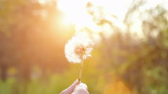 Blowing Dandelion in Nature in Slow Motion - stock footage