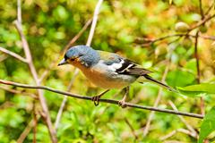 Madeiran chaffinch - stock photo