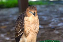 beautiful female Common Kestrel (Falco tinnunculus) - stock photo