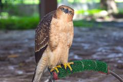 Beautiful female Common Kestrel (Falco tinnunculus) Stock Photos