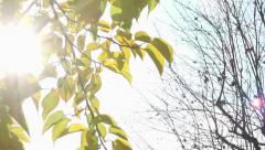 Trees : from yellows leaves to no leaves. panoramic shot. Stock Footage
